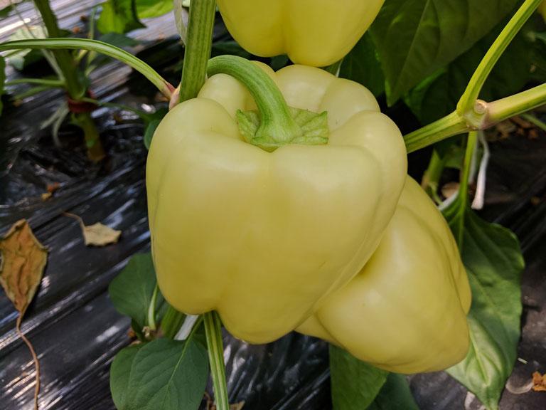 semena za zelenjavni vrt, semena zelenjave, profesionalna semena za vrtičkarje, semena za vrt, Agrotech - Bagoly-junij-17-15