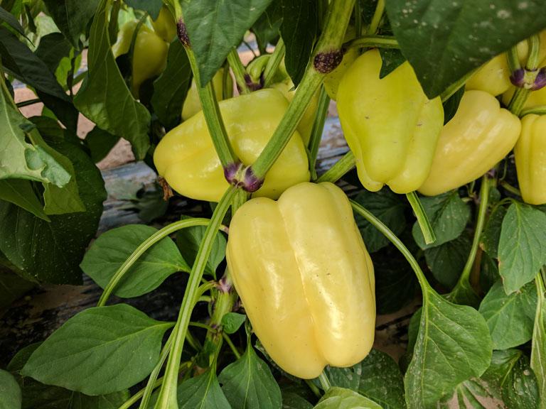 semena za zelenjavni vrt, semena zelenjave, profesionalna semena za vrtičkarje, semena za vrt, Agrotech - Bernita-julij-17-2