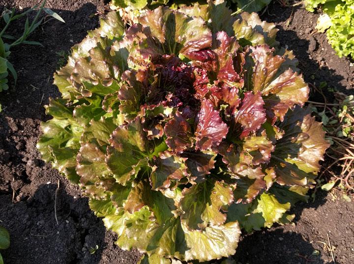 semena za zelenjavni vrt, semena zelenjave, profesionalna semena za vrtičkarje, semena za vrt, Agrotech - Bocado-2