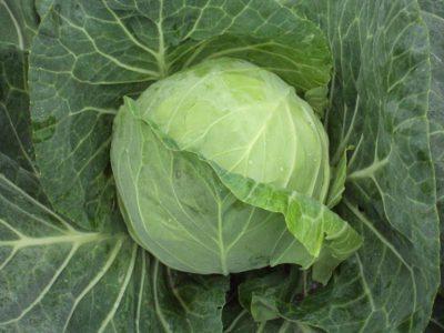 semena za zelenjavni vrt, semena zelenjave, profesionalna semena za vrtičkarje, semena za vrt, Agrotech - agrotech-zelje-bourbon
