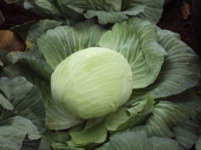 semena za zelenjavni vrt, semena zelenjave, profesionalna semena za vrtičkarje, semena za vrt, Agrotech - Burton-2-1024x768