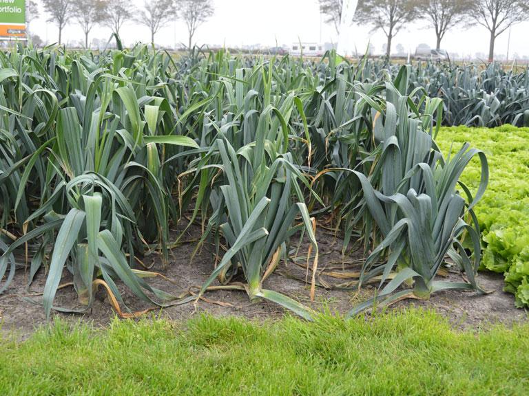 semena za zelenjavni vrt, semena zelenjave, profesionalna semena za vrtičkarje, semena za vrt, Agrotech - Capito-2