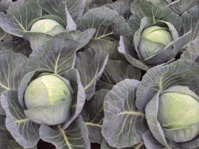 semena za zelenjavni vrt, semena zelenjave, profesionalna semena za vrtičkarje, semena za vrt, Agrotech - agrotech-zelje-castello