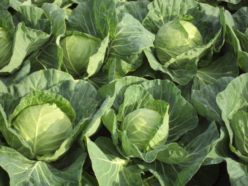 semena za zelenjavni vrt, semena zelenjave, profesionalna semena za vrtičkarje, semena za vrt, Agrotech - agrotech-zelje-delight-ball
