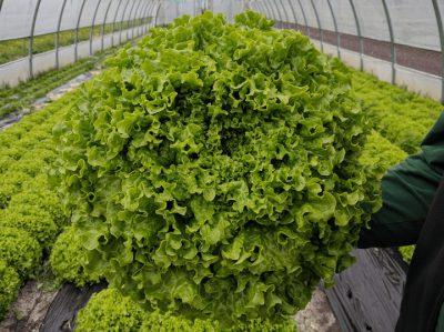 semena za zelenjavni vrt, semena zelenjave, profesionalna semena za vrtičkarje, semena za vrt, Agrotech - FABELLA1