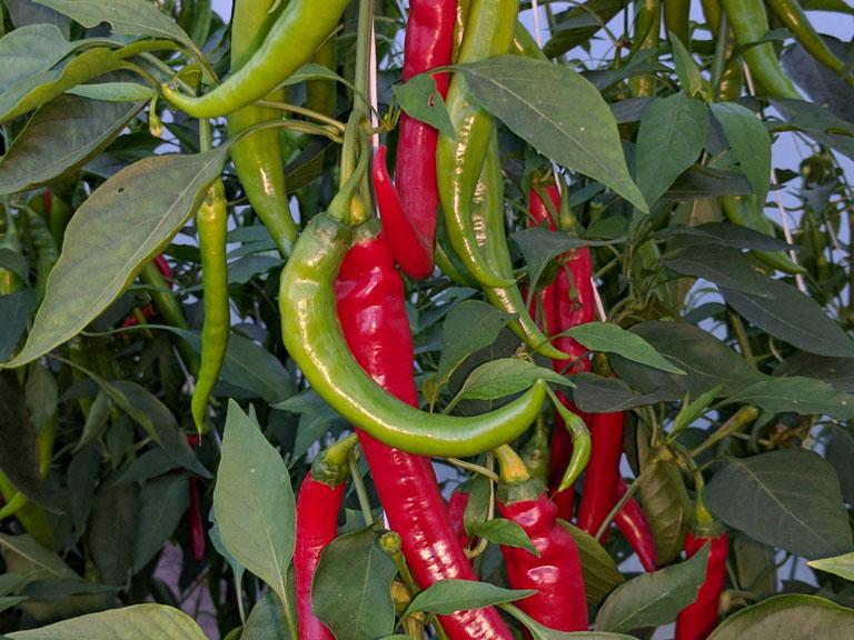 semena za zelenjavni vrt, semena zelenjave, profesionalna semena za vrtičkarje, semena za vrt, Agrotech - Fogaras-september