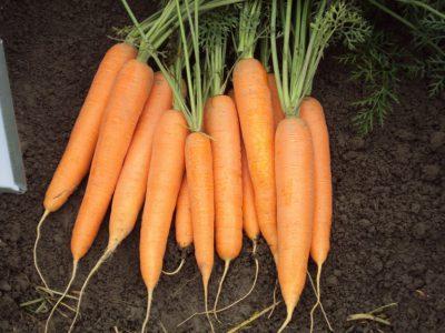 semena za zelenjavni vrt, semena zelenjave, profesionalna semena za vrtičkarje, semena za vrt, Agrotech - Maestro