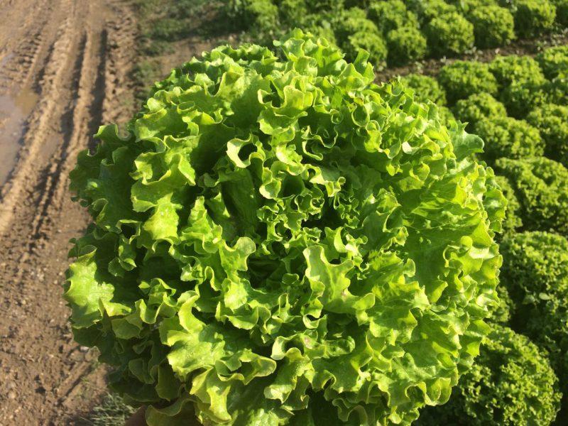 semena za zelenjavni vrt, semena zelenjave, profesionalna semena za vrtičkarje, semena za vrt, Agrotech - agrotech-solata-maradone