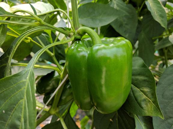 semena za zelenjavni vrt, semena zelenjave, profesionalna semena za vrtičkarje, semena za vrt, Agrotech - Vazul-2