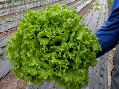 semena za zelenjavni vrt, semena zelenjave, profesionalna semena za vrtičkarje, semena za vrt, Agrotech - Solata-Minestrone