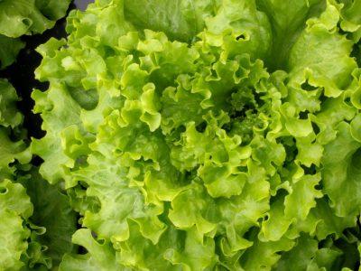 semena za zelenjavni vrt, semena zelenjave, profesionalna semena za vrtičkarje, semena za vrt, Agrotech - abbice