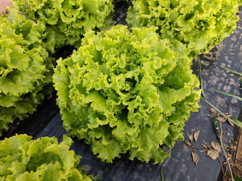 semena za zelenjavni vrt, semena zelenjave, profesionalna semena za vrtičkarje, semena za vrt, Agrotech - agrotech-solata-Exquise2