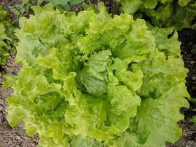 semena za zelenjavni vrt, semena zelenjave, profesionalna semena za vrtičkarje, semena za vrt, Agrotech - agrotech-solata-eole