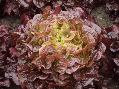 semena za zelenjavni vrt, semena zelenjave, profesionalna semena za vrtičkarje, semena za vrt, Agrotech - flambine-768x576