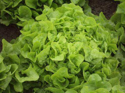 semena za zelenjavni vrt, semena zelenjave, profesionalna semena za vrtičkarje, semena za vrt, Agrotech - quelio-1-768x576