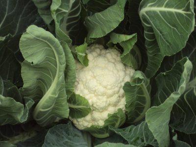 semena za zelenjavni vrt, semena zelenjave, profesionalna semena za vrtičkarje, semena za vrt, Agrotech - agrotech-cvetača-seoul