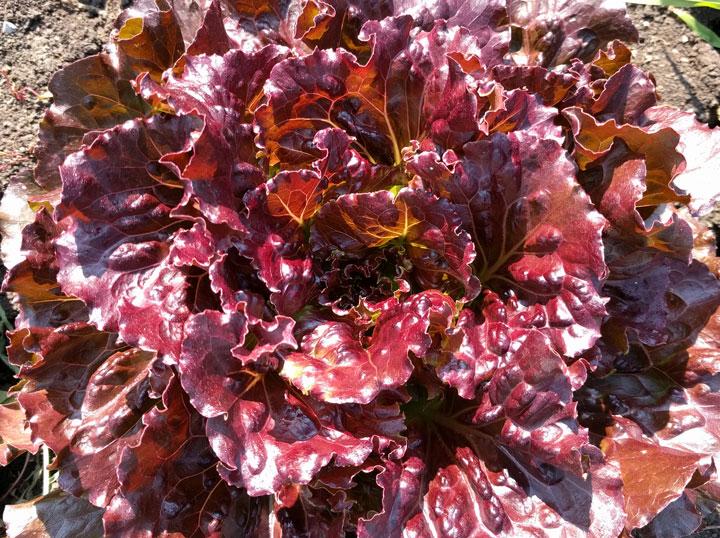 semena za zelenjavni vrt, semena zelenjave, profesionalna semena za vrtičkarje, semena za vrt, Agrotech - Corcovado-1