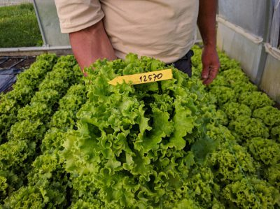 semena za zelenjavni vrt, semena zelenjave, profesionalna semena za vrtičkarje, semena za vrt, Agrotech - Fripone