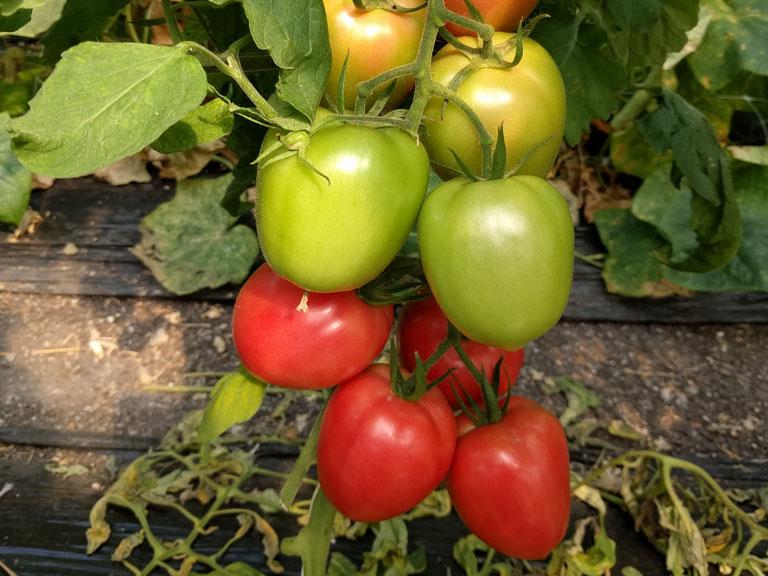 semena za zelenjavni vrt, semena zelenjave, profesionalna semena za vrtičkarje, semena za vrt, Agrotech - Jangcy-a