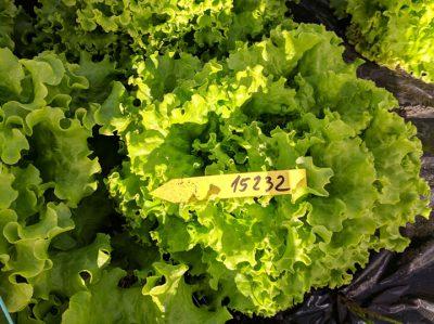 semena za zelenjavni vrt, semena zelenjave, profesionalna semena za vrtičkarje, semena za vrt, Agrotech - Mignone