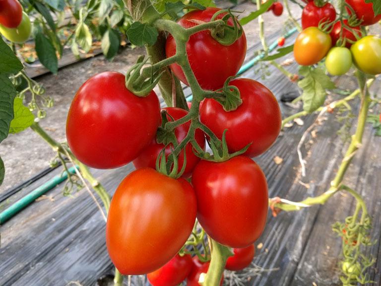 semena za zelenjavni vrt, semena zelenjave, profesionalna semena za vrtičkarje, semena za vrt, Agrotech - cencara-a